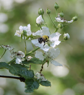 Bumble bee on blackberry flower, Bombus griseocollis or Bombus impatiens