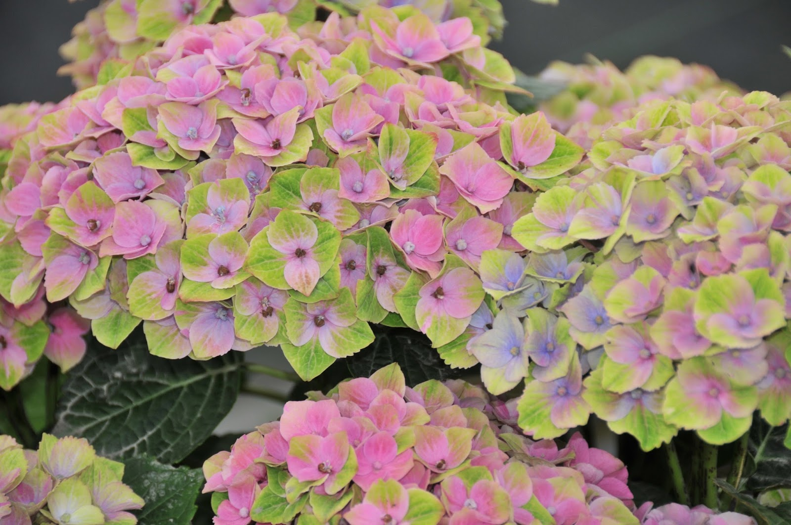Hydrangea Roll Out Sun Valley