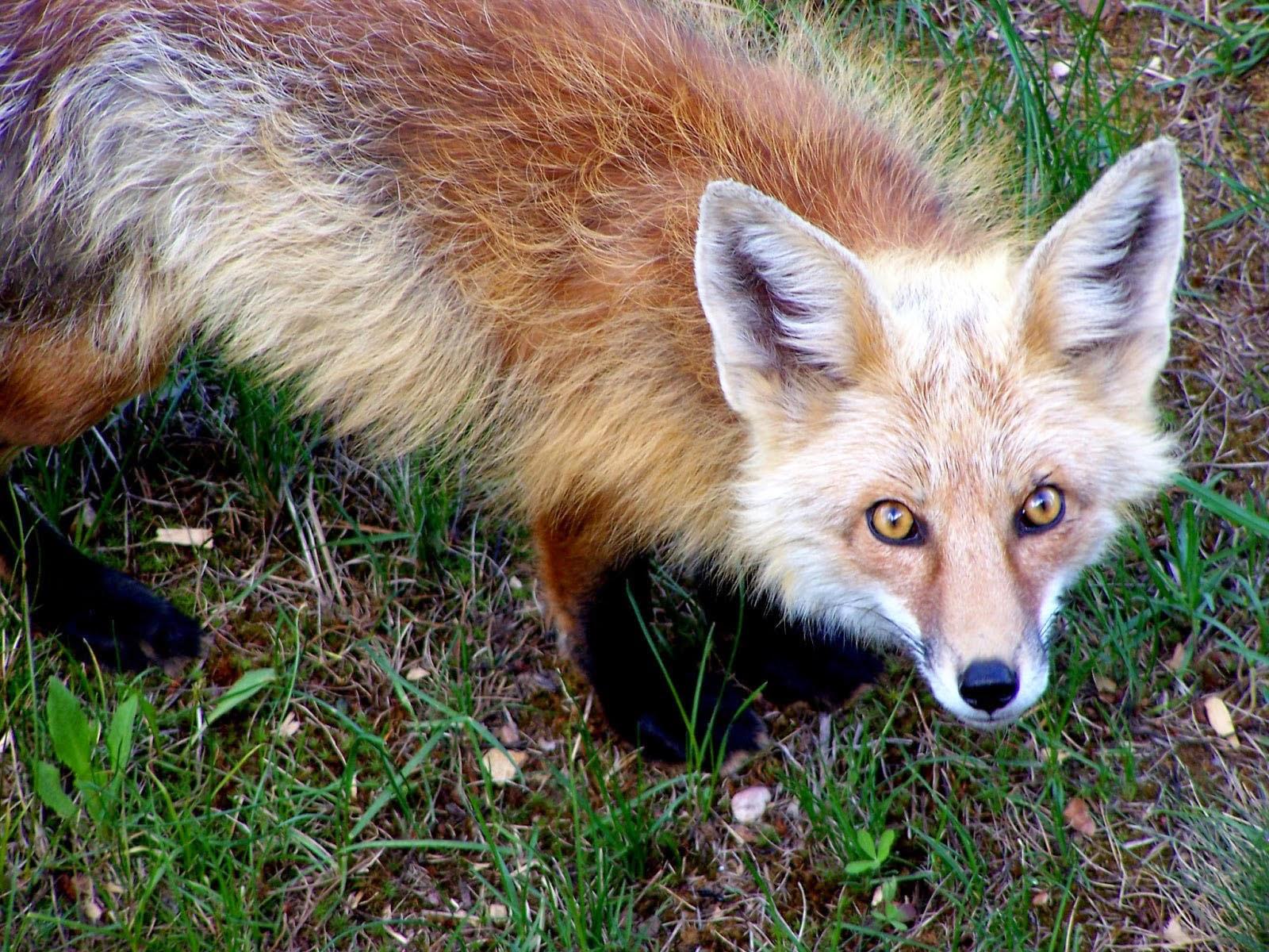 Nature Spirit Signs: Fox Spirit Sign