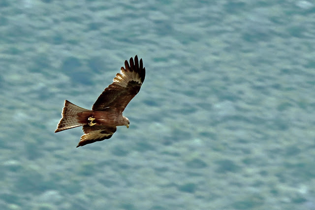 Buy canvas print of a Black Kite