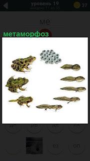 Метаморфоз, переход головастика в лягушку и другие формы развития