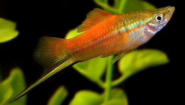 Gambar Ikan Swordtail - Budidaya Ikan