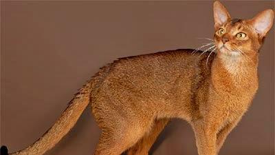 10 Kucing Tercantik Di Dunia Lalaha