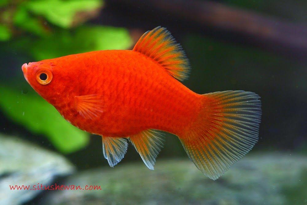 Platy - Jenis Jenis Ikan Hias Air Tawar Aquascape Paling Lengkap