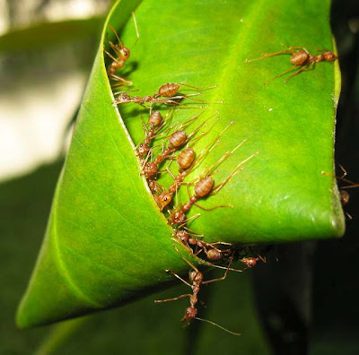 Oecophylla workers 'weaving' a new nest