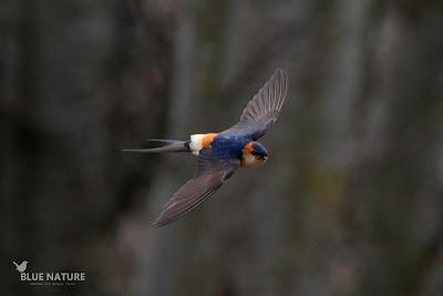 Golondrina dáurica - Red-rumped swallow - Ceropis daurica Pillada en pleno vuelo, esta prima de la golondrina común también viaja desde el sur del Sahara hasta la Península Ibérica nada más empezar el buen tiempo (aprox. marzo)