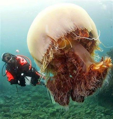 Echizen jellyfish