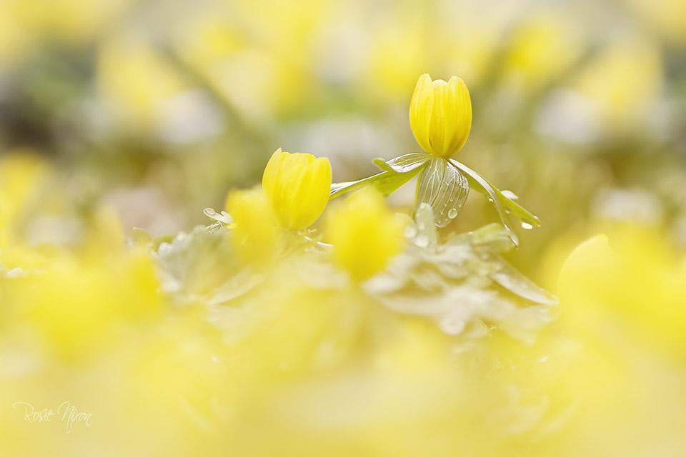 winter garden photography - Eranthis hyemalis winter aconite