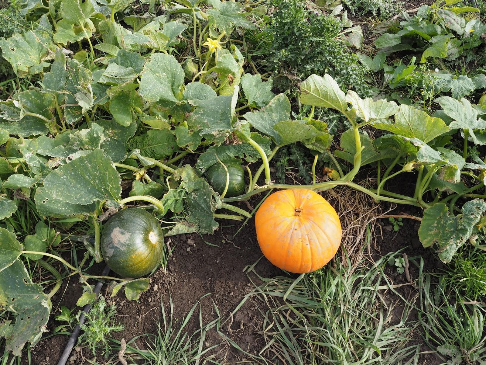 Pumpkin Picking at Craigies Farm, Edinburgh, Scotland // Autumn // Lauren Rose Fashion Lifestyle Blogger