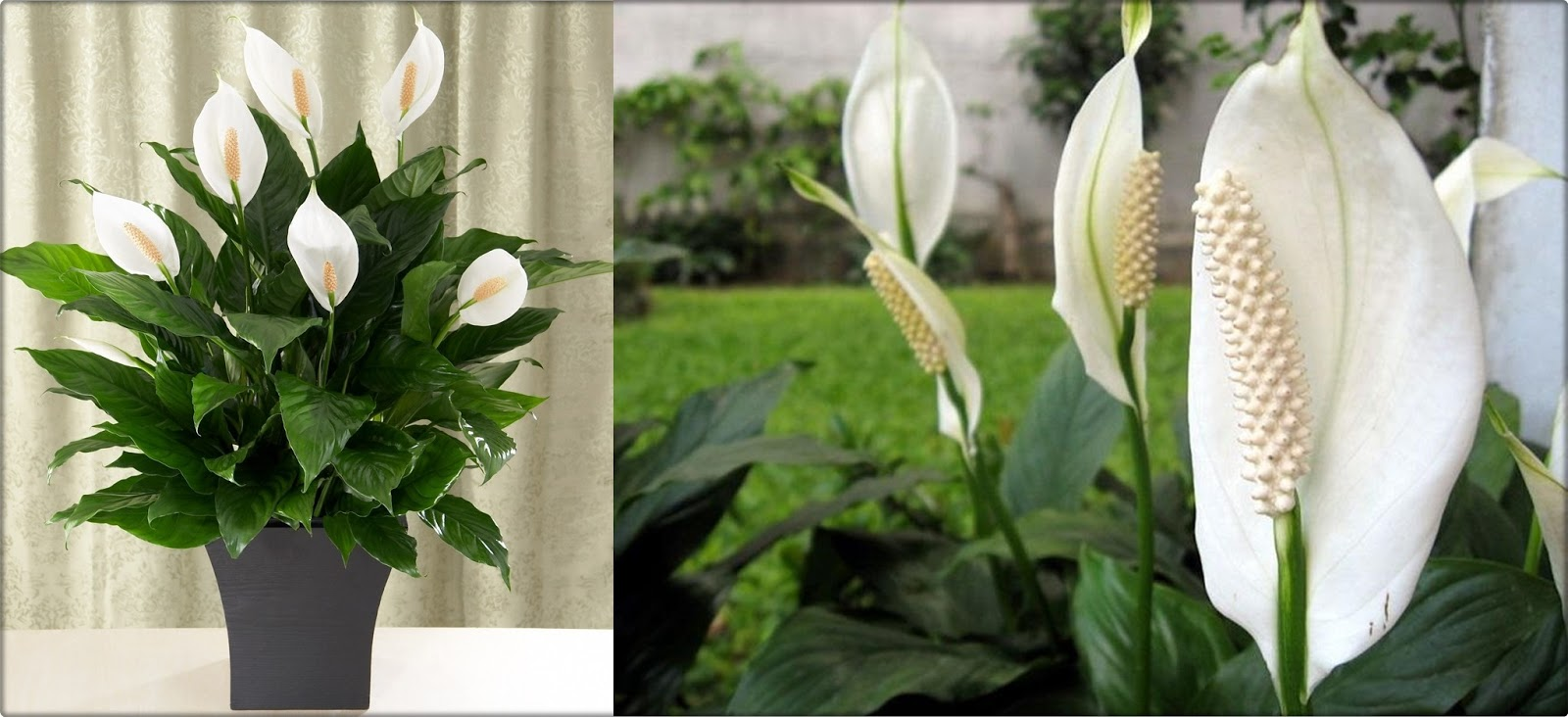 why do peace lily leaves turn yellow or brown cactus garden. Black Bedroom Furniture Sets. Home Design Ideas