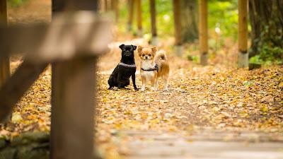 Tierfotografie Chihuahua- Hundedamen an Brücke wartend