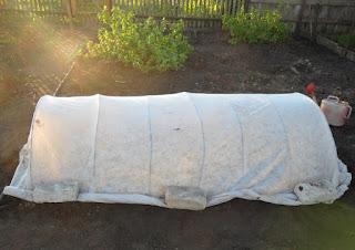 Грядочка перцев укрыта от холода и ветра