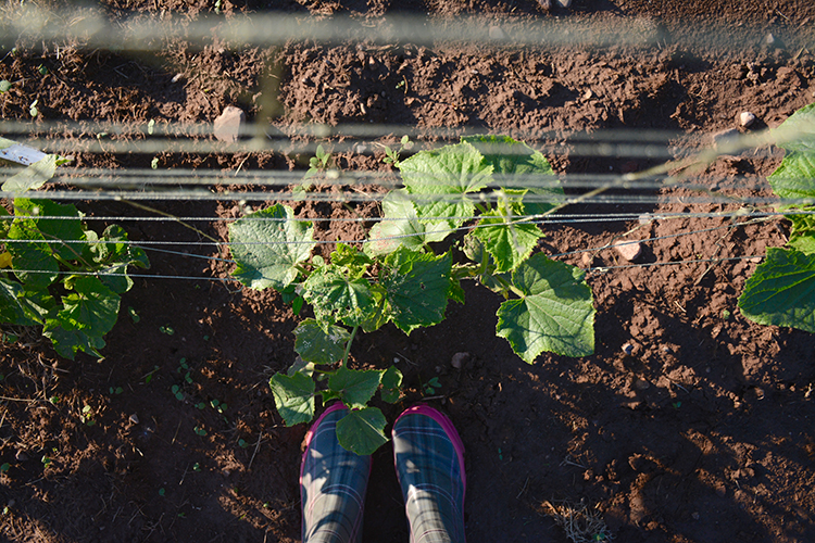 Gardening; cucumbers | My Darling Days