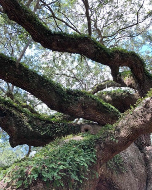 Angel Oak tree Charleston, SC John's Island