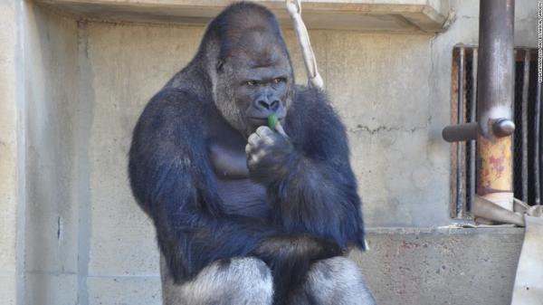 Shabani, Gorila Tampan