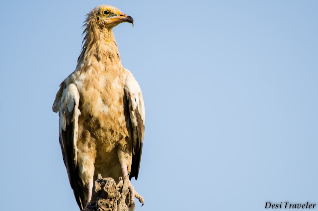 egyptian vulture on tree looking for dead animals in tal chhapar rajasthan