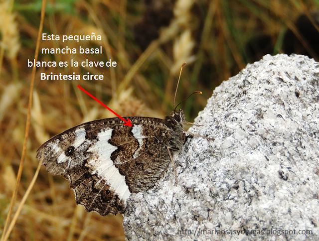 Brintesia circe y su mancha blanca basal