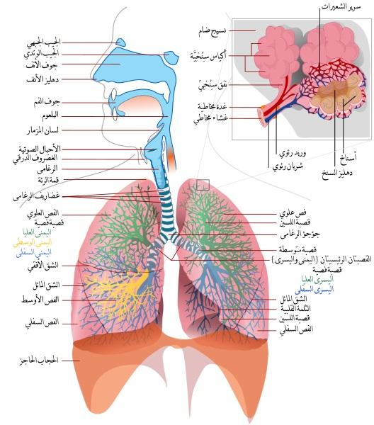 respiratory-system-breathing-الجهاز-التنفسي-التنفس