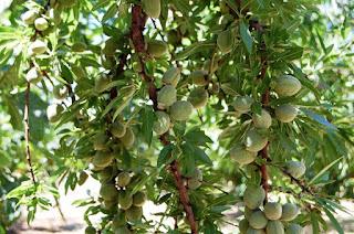 Pokok-Kacang-Badam