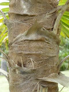 Coccothrinax proctorii - Palmier de Protcor