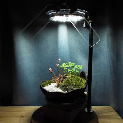 丹頂草と立浪草の盆栽の植物鑑賞スタンド