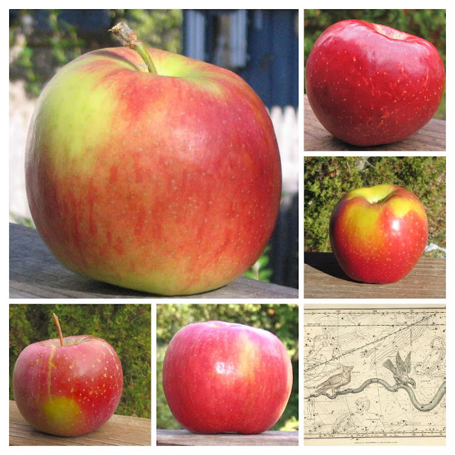 Collage of Honeycrisp-type apples