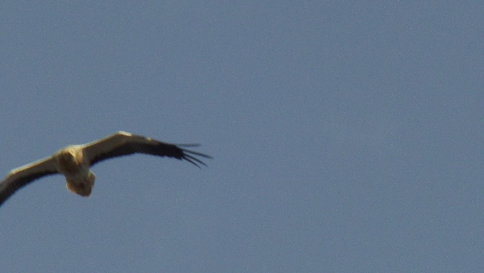 Extremadura Alimoche MigratoriasEl NaturalmenteLas MigratoriasEl Aves Alimoche NaturalmenteLas Extremadura Extremadura Aves stQhrd