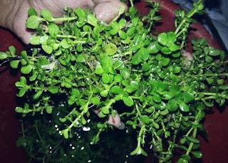 Tanaman Akuarium Lindernia Rotundifolia
