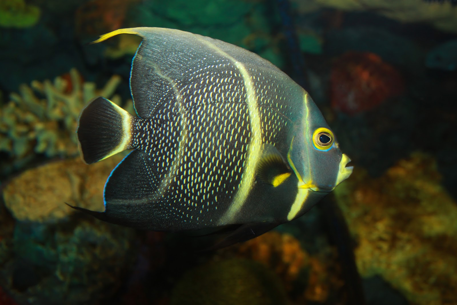 Wildlife of the World: Angelfish Wallpapers