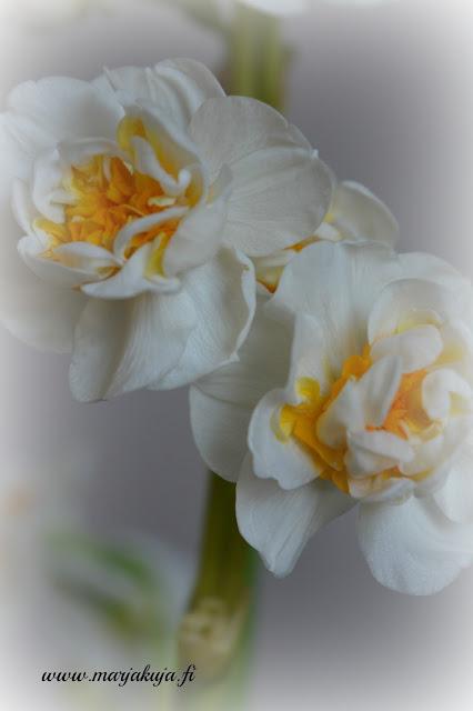 Kukka perunanarsissi