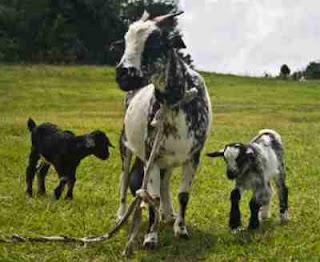 Daftar pasaran harga kambing terbaru dan terlengkap