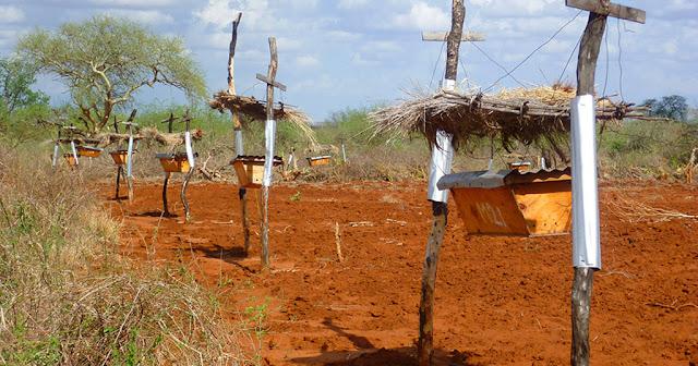 Οι αγρότες στην Αφρική βάζουν έτσι τις κυψέλες στα χωράφια τους αλλά όχι για να πάρουν το μέλι…