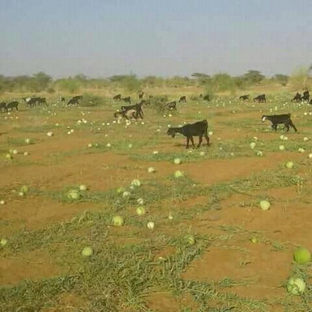 اغنام تتوسط المراعي الطبيعية في السودان