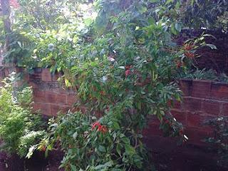 Plantações de pimenta aumentam na PB e geram renda para agricultores; veja como cultivá-la