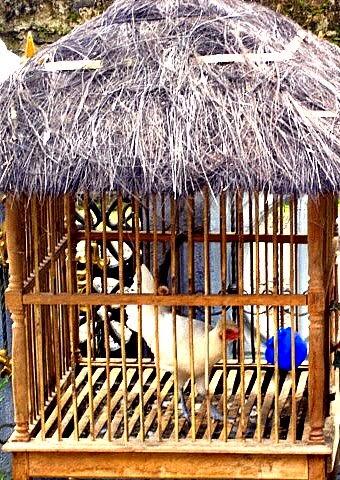 Itik Banyuwangi  Sangkar ayam piaraan hias sehat hygienic