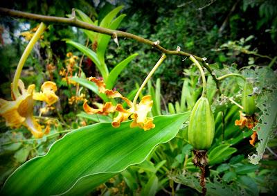 tak sangka, begini rupa buahnya-bunga orkid