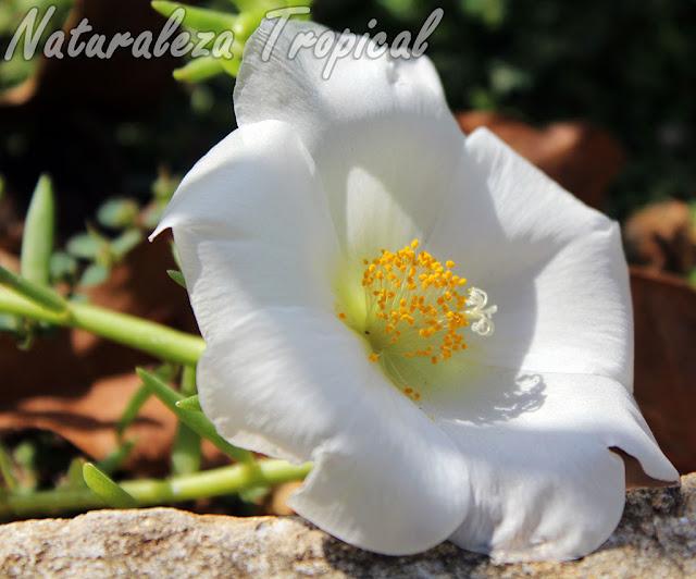 Variedad blanca de la flor de la Verdolaga de Flor, Portulaca grandiflora