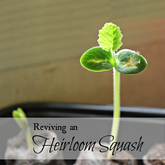 Ten-year-old squash seeds
