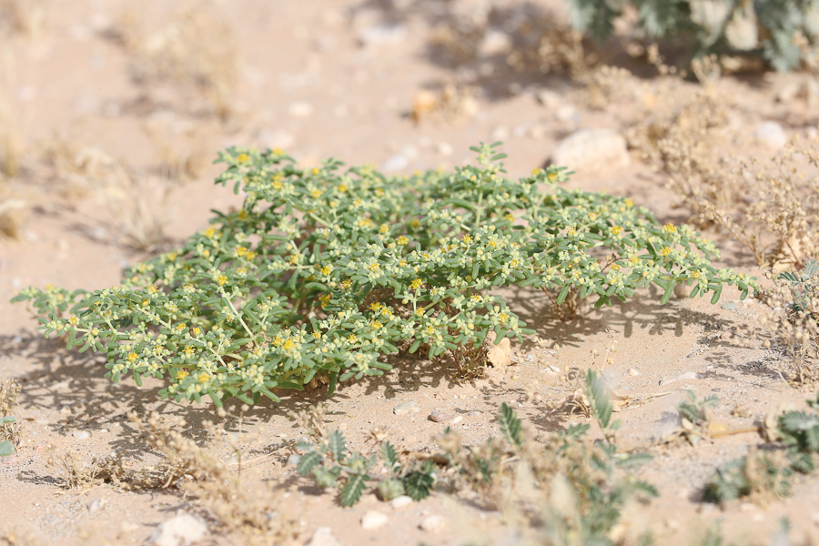 Zygophyllum simplex