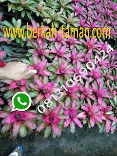 Bromelia pink deborah tanaman hias