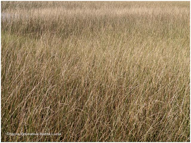 Vegetación del humedal en suelo anegadizo - Chacra Educativa Santa Lucía