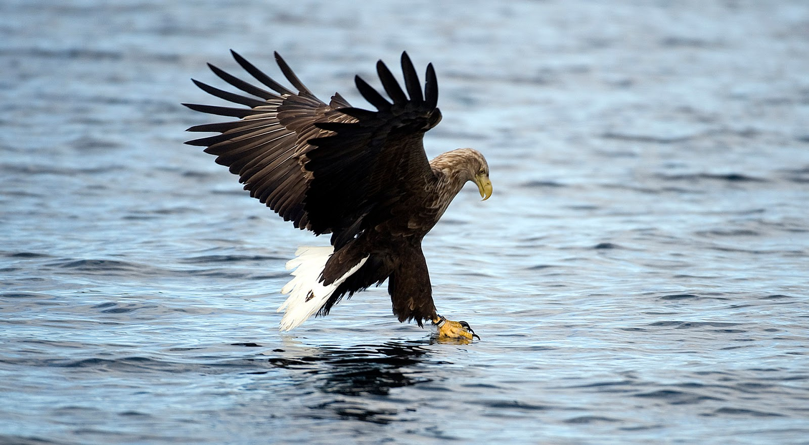 Using a little fish bait, our captains coaxed the eagles to swoop down upon their prey. Photo: © Marten Bril, VisitVesteralen.com, Andoey, Boe, Hadsel, Loedingen, Sortland, ksnes.