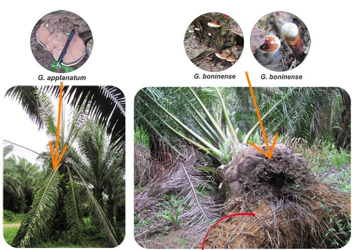penyakit kelapa sawit