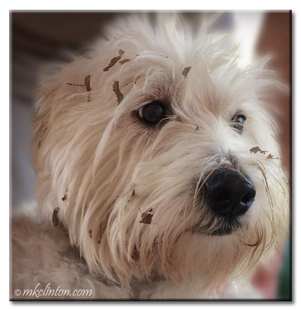 Pierre the Westie with leave mulch all over his face.