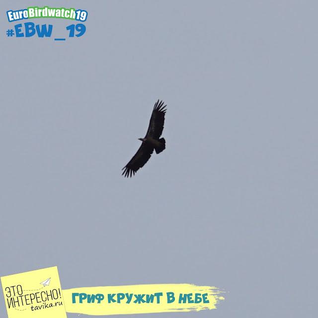 летящий гриф
