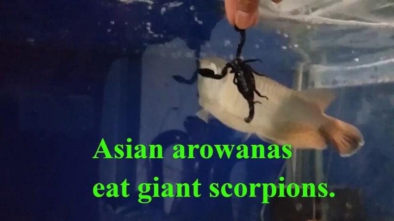 Gambar Cara Mengatasi Ikan Arwana Yang Mogok Makan - Arwana Makan Kalajengking
