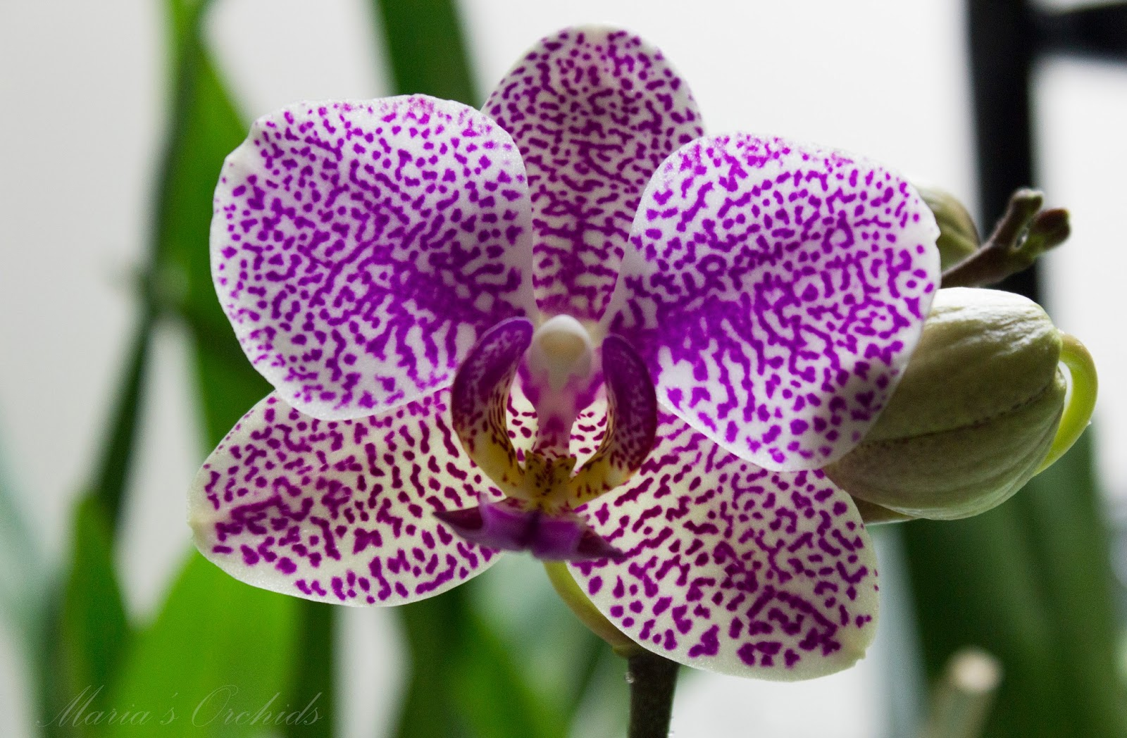 Maria S Orchids My Orchid Flowers Gallery