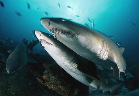 Tiger Shark - Best Animals  Tiger Shark - B...