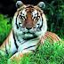 Bảo vệ môi trường sống cho loài hổ là việc cấp bách