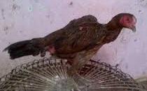 Peternakan ayam aduan